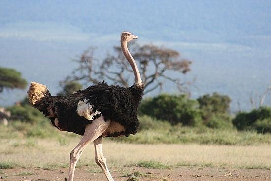 Resultado de imagem para Avestruz africano